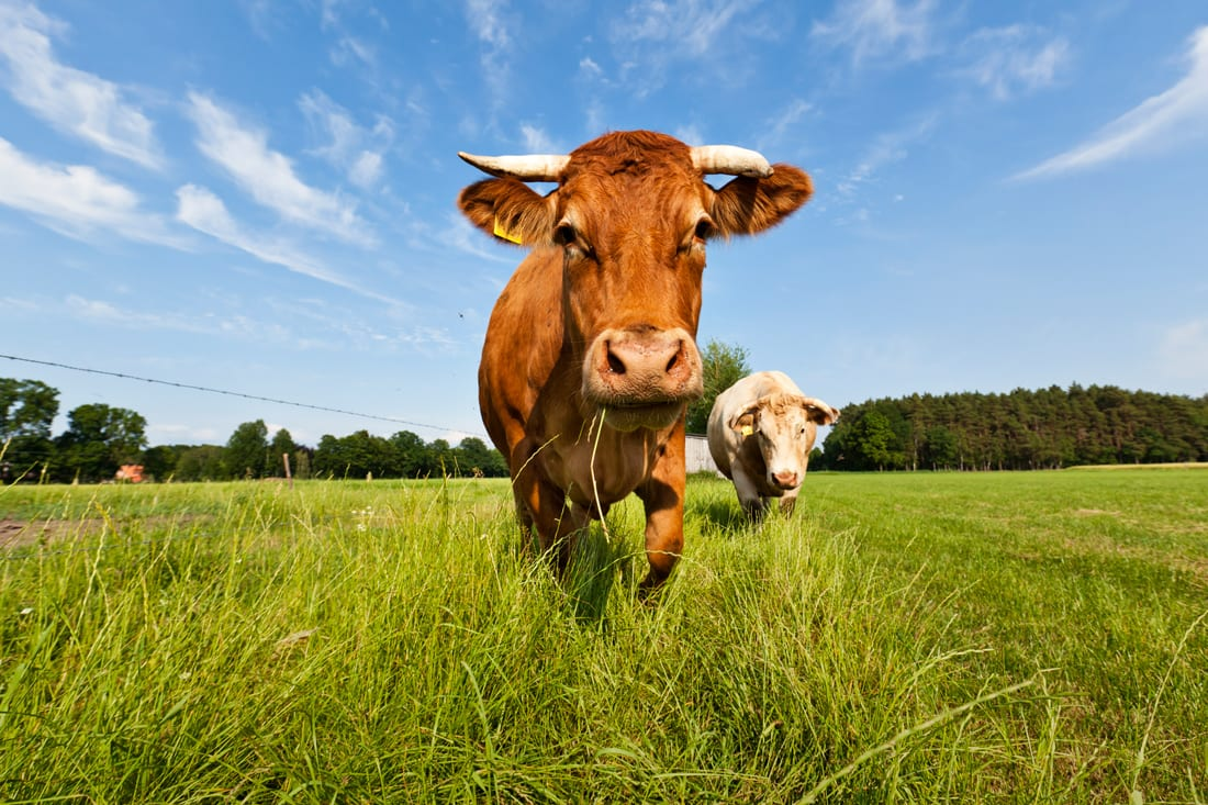 Cattle, climate change and the methane myth