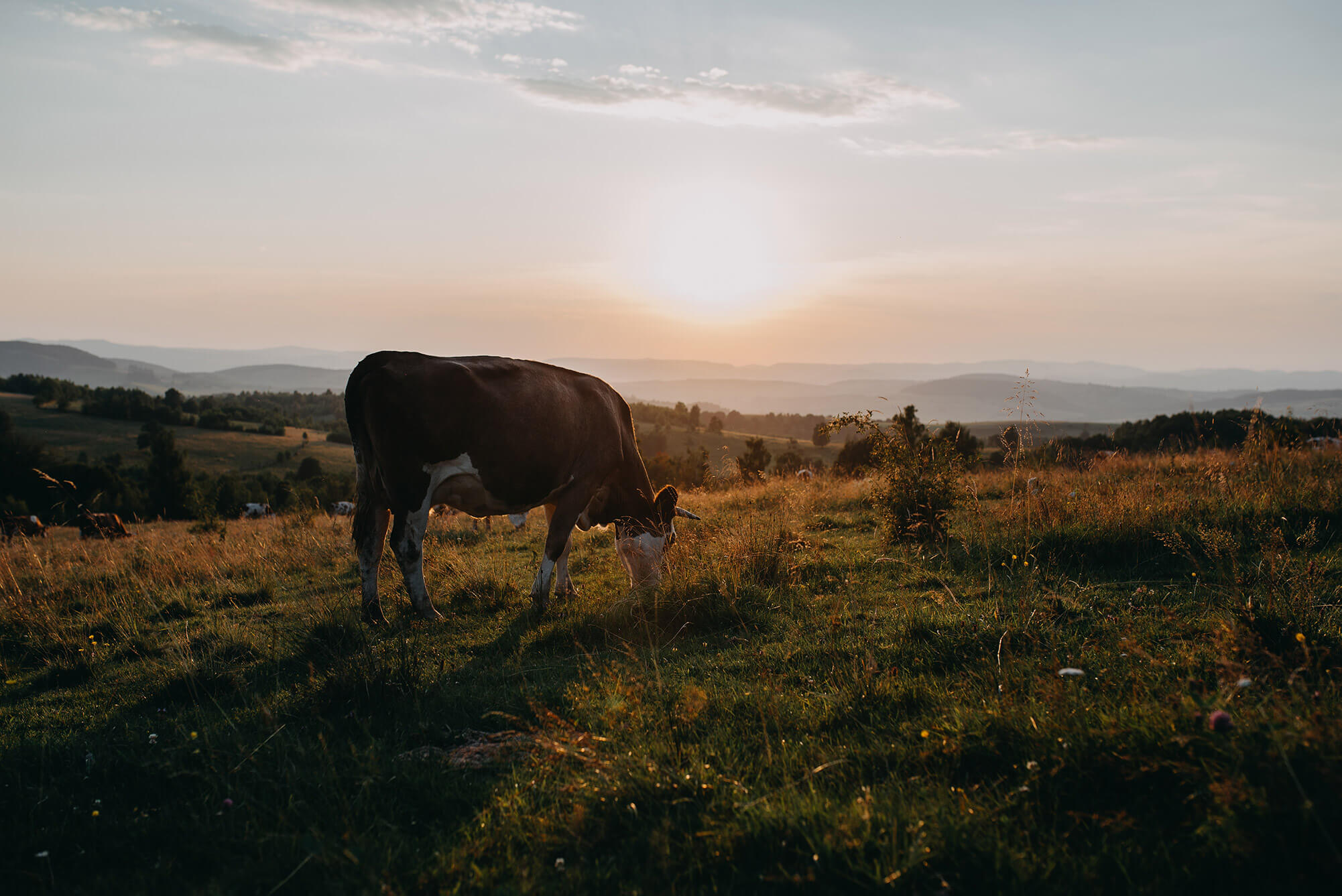 Cattle, climate change & animal welfare